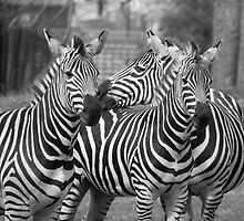 Zebras by CSutton