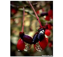 """""""The Red Berries"""" Photographic Print"""