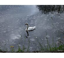 Swan swims through the petal-strewn water Photographic Print