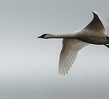 Winter Tundra Swan by AgapeMn