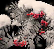 Mountain Ash [Sorbus sitchensis] by Yukondick