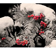 Mountain Ash [Sorbus sitchensis] Photographic Print