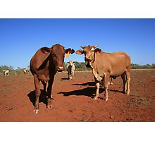 The Bovine Mafia, Pilbara Photographic Print