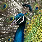 The peacock by Ben Shaw