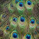 Peacock Plumage by Gayle Shaw