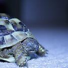 tortoise herbert by becky covey