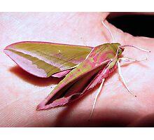 Elephant Hawk Moth 3 Photographic Print