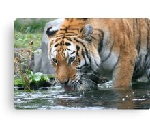 Thirsty Tiger Canvas Print