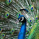 Pride of the Peacock by Gayle Shaw