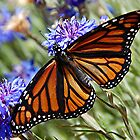 Monarch Butterfly No.6 by patapping
