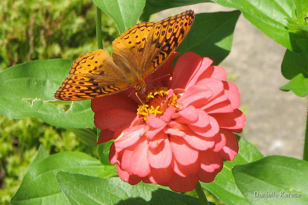 Butterfly on Zinnia by Danielle Kerese