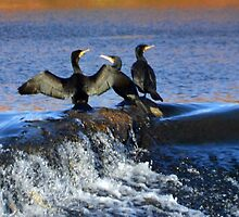 Cormorants at Exeter Quays Devon, UK by lynn carter