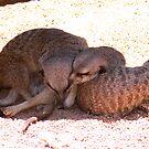 Knot of meerkats by Sandra Chung