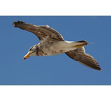 Pacific Gull Flyover Photographic Print