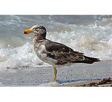 Pacific Gull- Juvenile Photographic Print