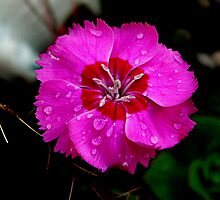 Red Flower by Tom Newman