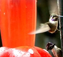 HUMMINGBIRDS FLYING AROUND THE FEEDER Sticker