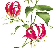 Gloriosa rothschildiana  -  Flame Lily by Denise Ramsay