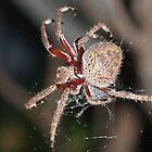 Garden Spider 2 by Adrian Lord