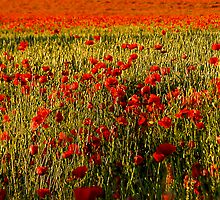Poppy Field by Robin Brown