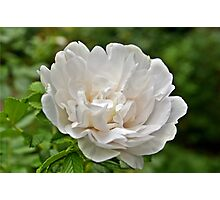 White Peony Bloom A Photographic Print