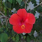 Mexican Hibiscus  by Nicole Chambers