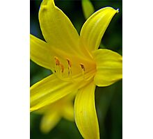Yellow Daylily D Photographic Print