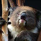Koala 1 by photonista