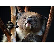 Koala 1 Photographic Print