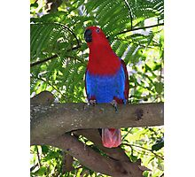 Female Eclectus Parrot Photographic Print