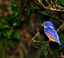 Azure kingfisher by Stewart Macdonald