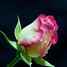 Rose by ~ Fir Mamat ~
