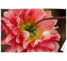 Colorful Dahlia Poster