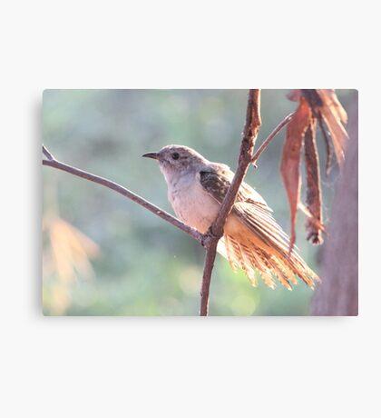 Brush Cuckoo  Canvas Print