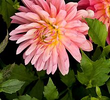Dahlia in the Garden by Dency Kane