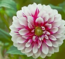Red and White Dahlia 'Aitara Diadem' by Dency Kane