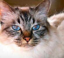 Birmese cat by douwe