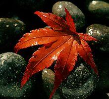 Acer Leaf by geoff curtis