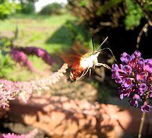 Hummingbird Moth by Danielle Kerese