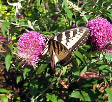 Tiger Swallowtail on Butterfly Bush by Danielle Kerese