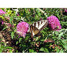 Tiger Swallowtail on Butterfly Bush Photographic Print