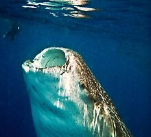 Whale Shark 'Feeding on phytoplankton' © 2010  Jacqueline Russell by OceanAdventures