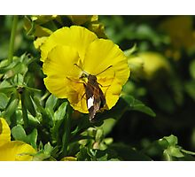 Butterfly on Pansy Photographic Print