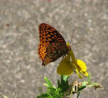 butterfly on Pansy by Danielle Kerese