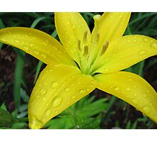 Asiatic Yellow Lily Photographic Print