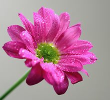 Chrysanthemum by ~ Fir Mamat ~