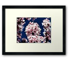 Cherry Blossoms Framed Print
