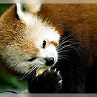 The Red Panda by Gayle Shaw
