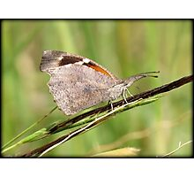 American Snout Butterfly Photographic Print
