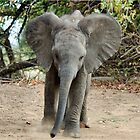 DON'T COME ANY CLOSER! -THE AFRICAN ELEPHANT – Loxodonta Africana by Magaret Meintjes